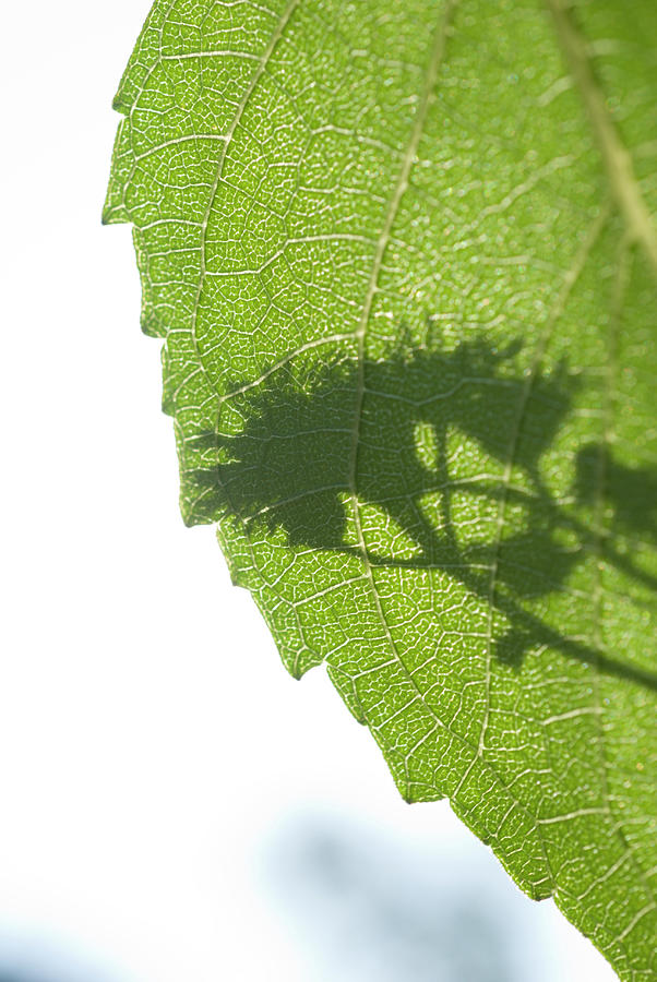 Shadows Of Flowers On The Leaves Of Photograph by John Nordell