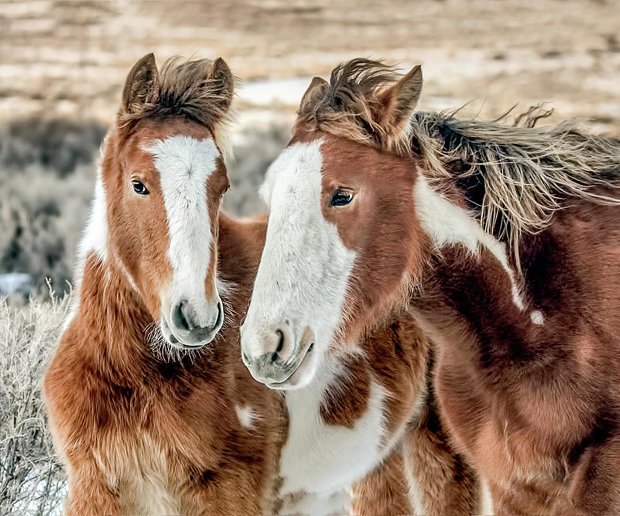 Shaggy Winter Mustangs by Dawn Key