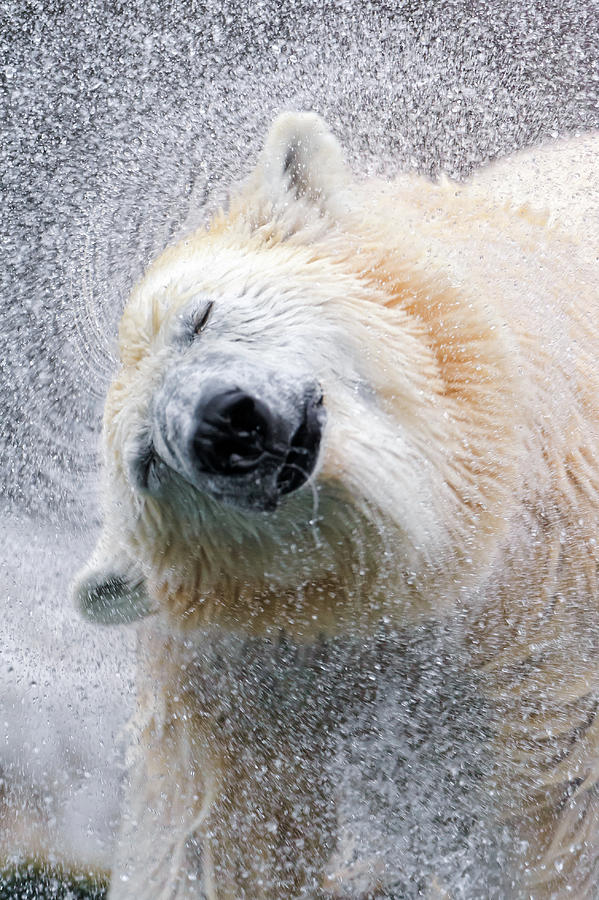 Shaking Polar Bear Photograph by Picture By Tambako The Jaguar