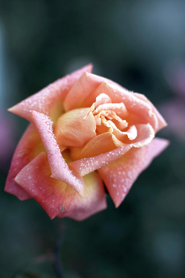 Shallow Rose Photograph by Kristianseptimiuskrogh