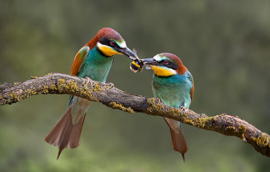 Bee-eater Photograph - Sharing by Xavier Ortega