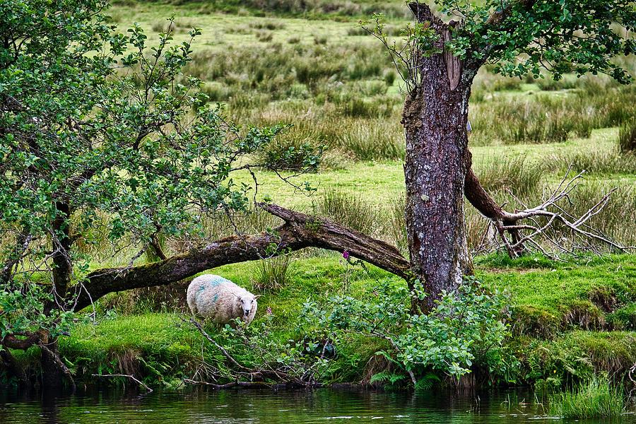 Sheep by the Split Tree - Scotland by Stuart Litoff