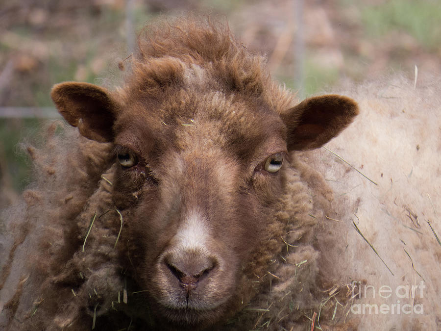 Sheep Face 2 by Christy Garavetto