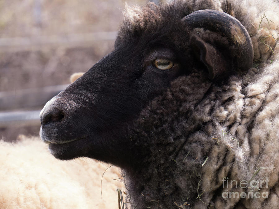 Sheep Face 4 by Christy Garavetto