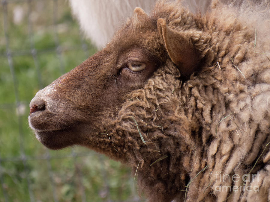 Sheep Face 5 by Christy Garavetto