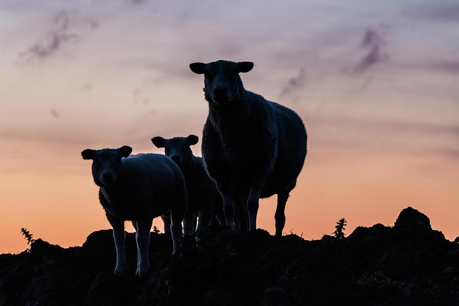 Sheep Photograph - Sheep Family by Anjo Ten Kate