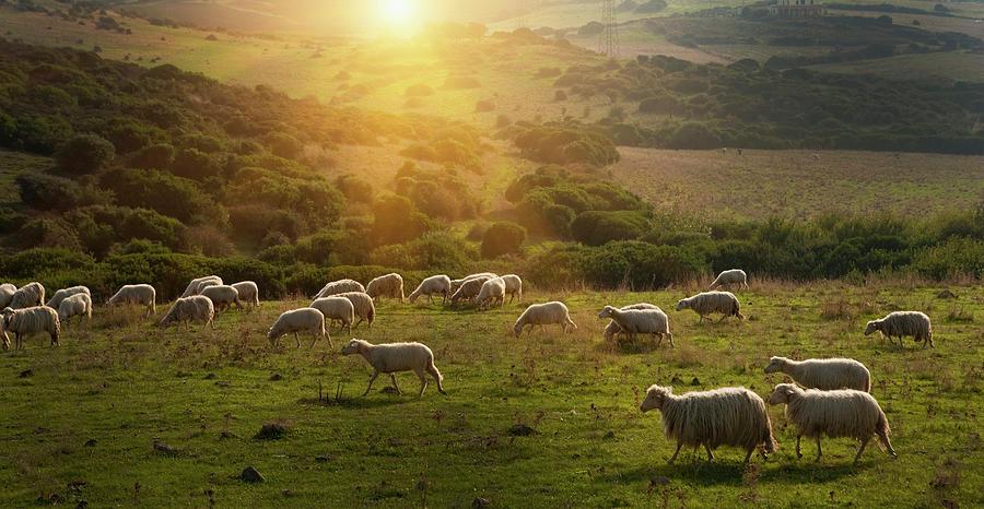 Sheep Grazing On Grassy Hillside Photograph by Walter Zerla
