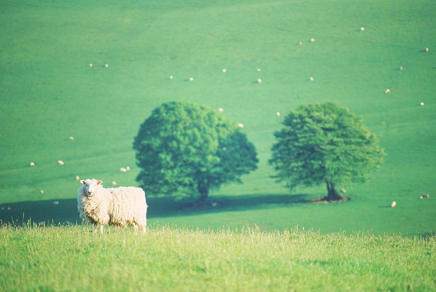 Sheep In Field, Devon, Uk Photograph by Peter Adams