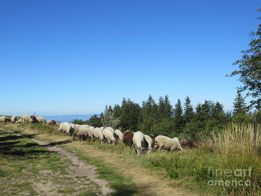 Sheep near the Cret de l'Oeillon by Chani Demuijlder