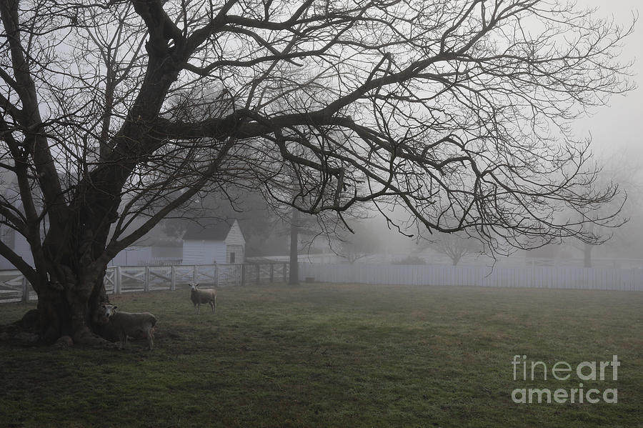 Sheep on a Misty Morning by Rachel Morrison