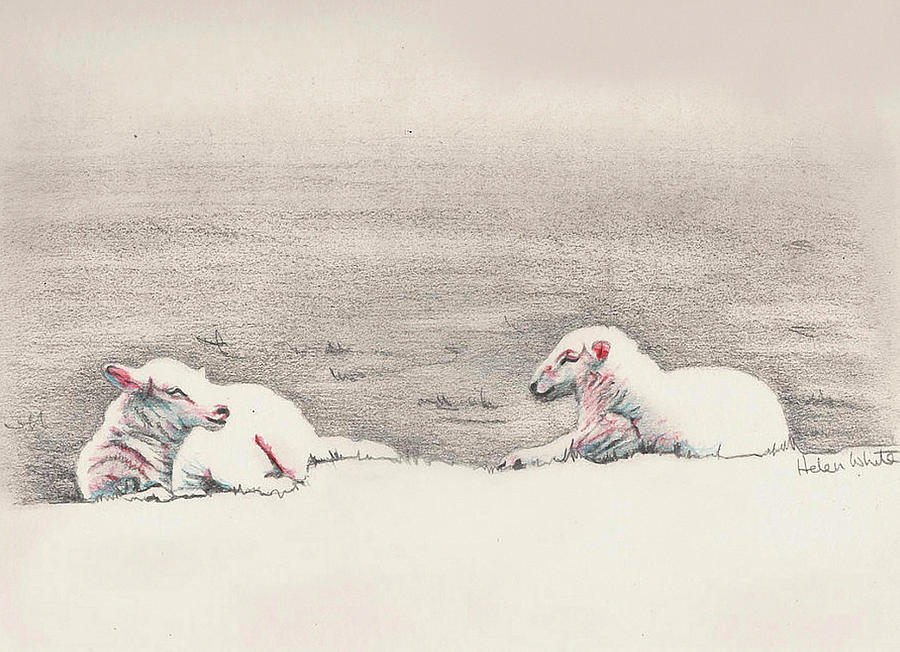 Sheep sketch III by Helen White