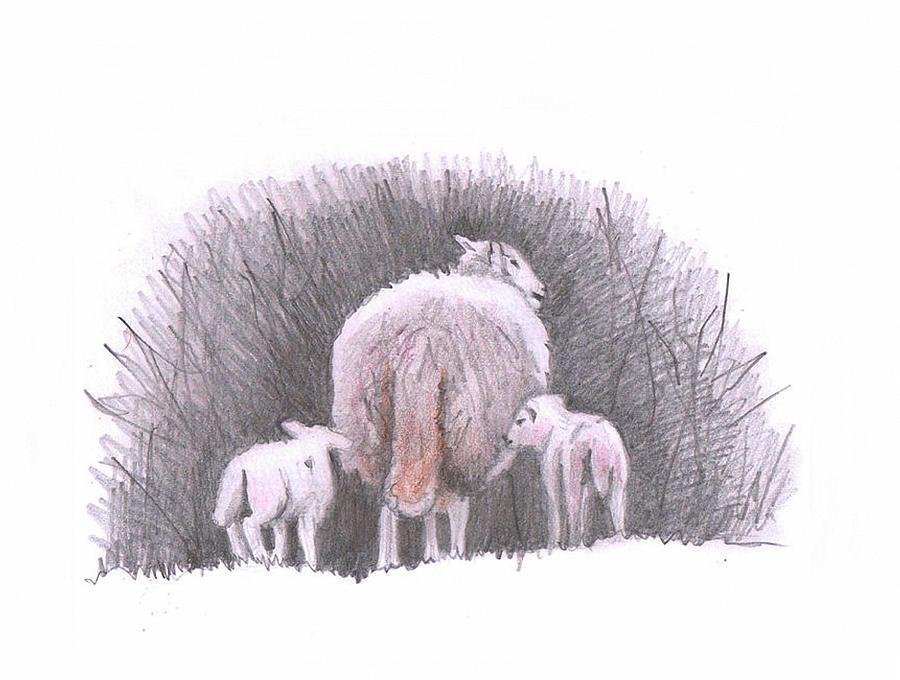 Sheep sketch IV by Helen White