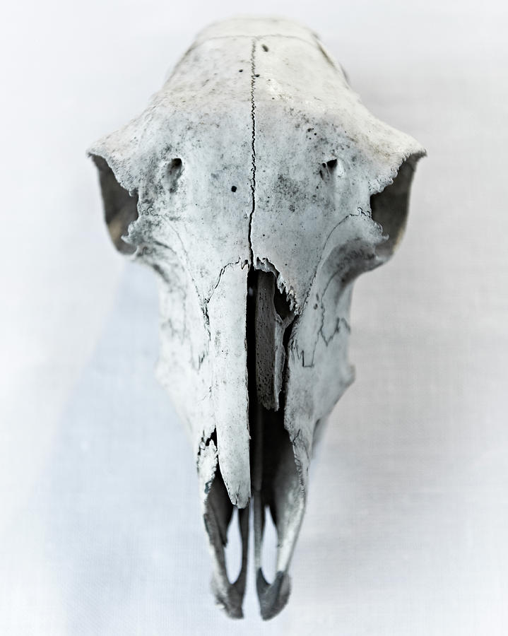 Sheep Skull Photograph by Adrian Green