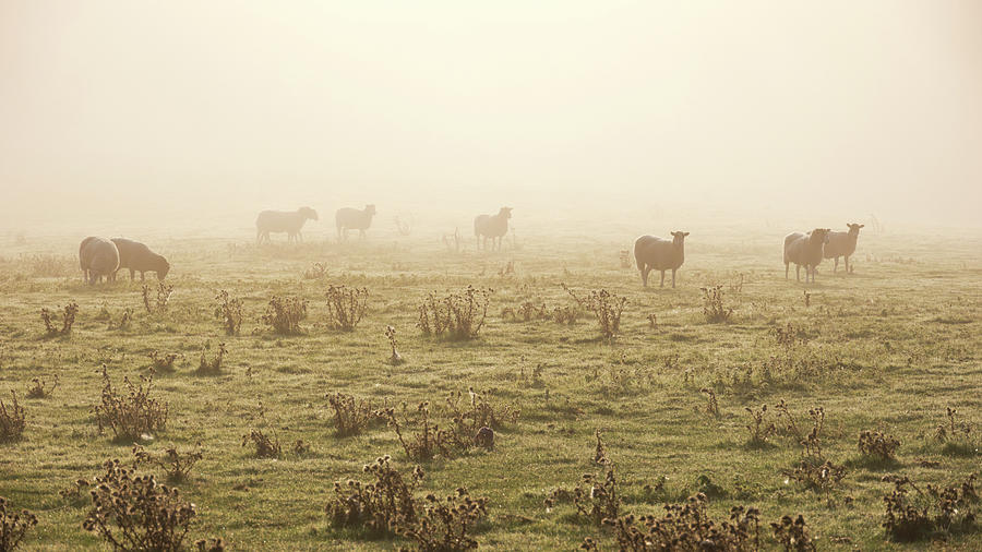 Sheep Viewed On A Misty Morning Photograph by Travelpix Ltd