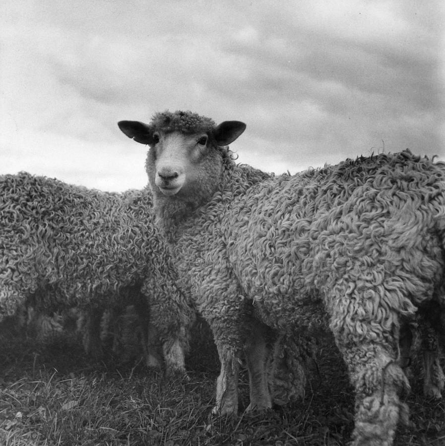 Sheep Photograph by W. J. Stirling