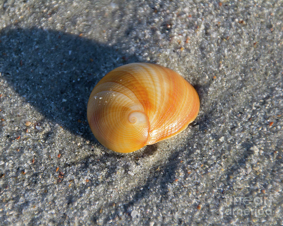 Shell in sand by Agnes Caruso