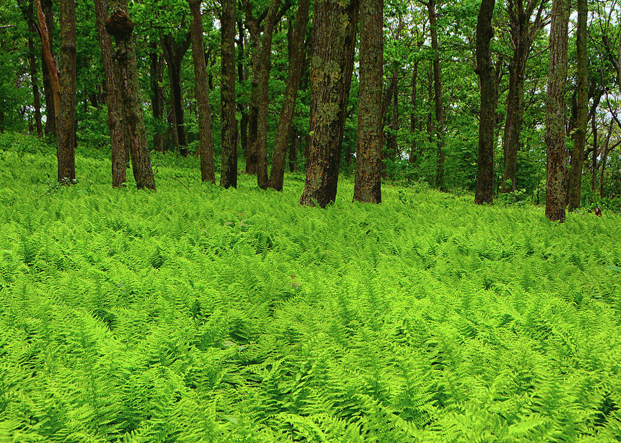 Shenandoah Ferns Among Giants by Raymond Salani III
