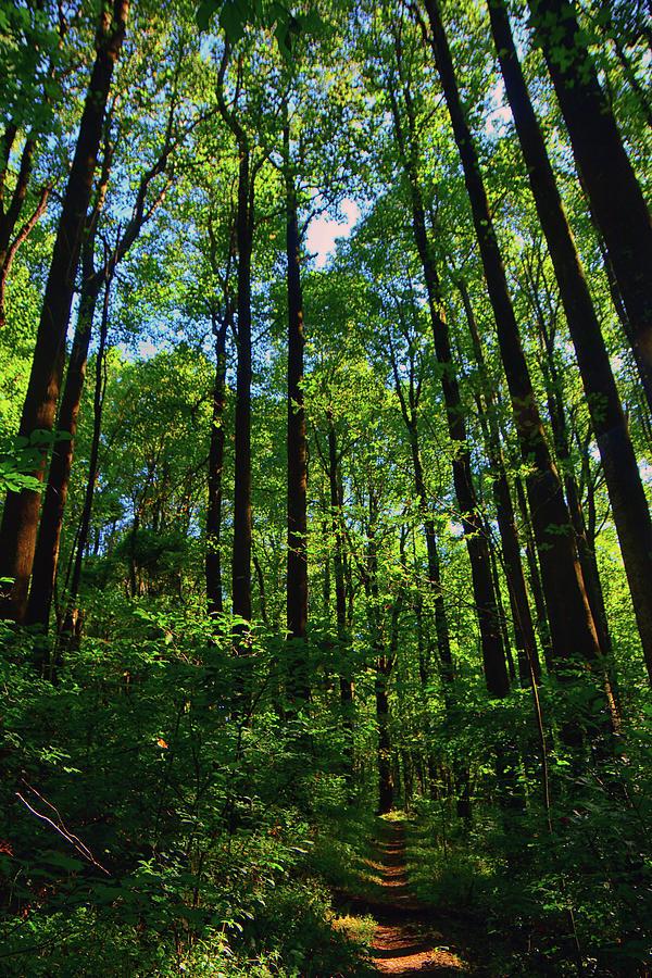 Shenandoah's Tall Trees by Raymond Salani III