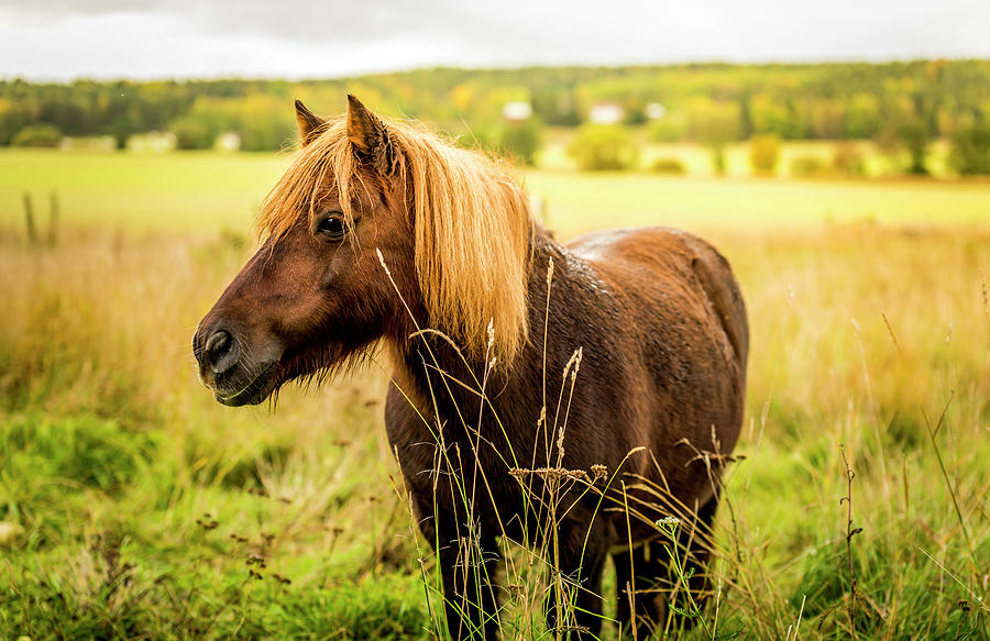 Shetland Pony by David Morefield