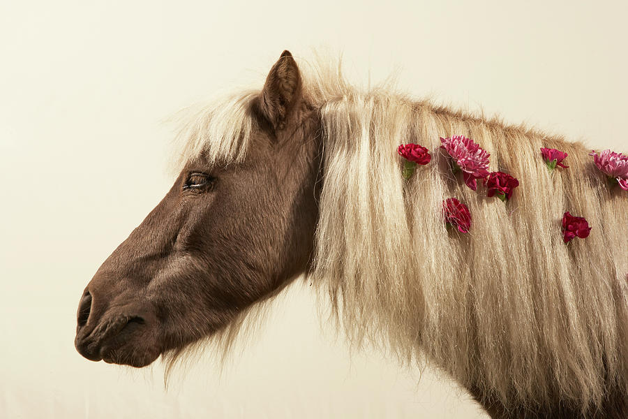 Shetland Pony With Flowers In Mane Photograph by Thomas Northcut