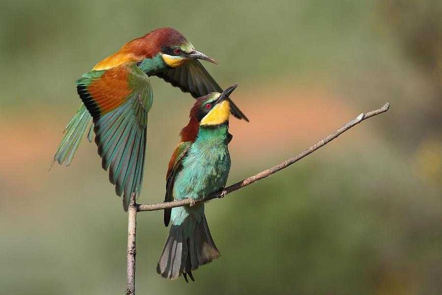 Bee-eater Photograph - Shhh! He\s Coming by Nicolás Merino