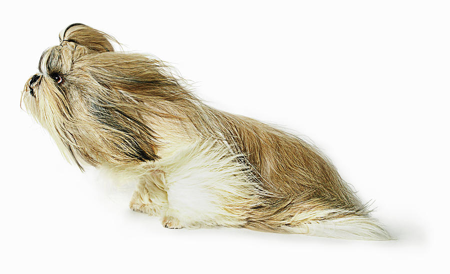 Shih-tzu Dog Fur Blowing In The Wind Photograph by Gandee Vasan