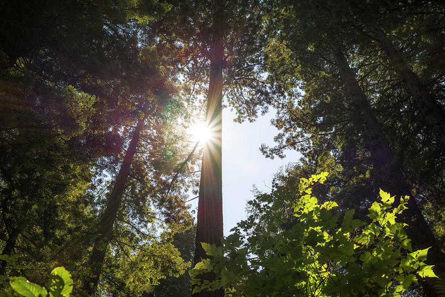 Redwoods Photograph - Shine On Redwoods by Joseph S Giacalone