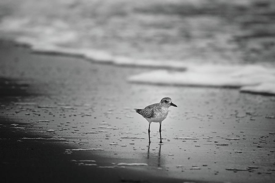 Shore Bird by Steve DaPonte