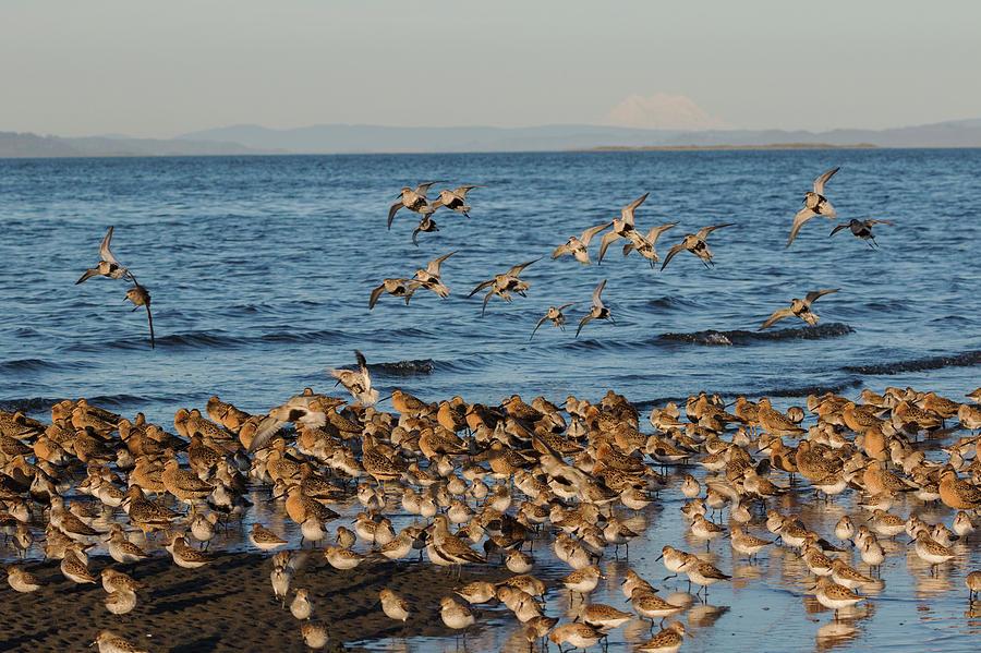 Dunlin Photograph - Shorebirds, Spring Migration Stop by Ken Archer