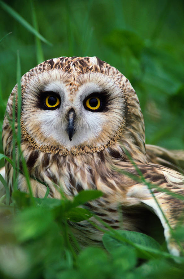 Short-eared Owl Asio Flammeus, Close-up Photograph by Art Wolfe