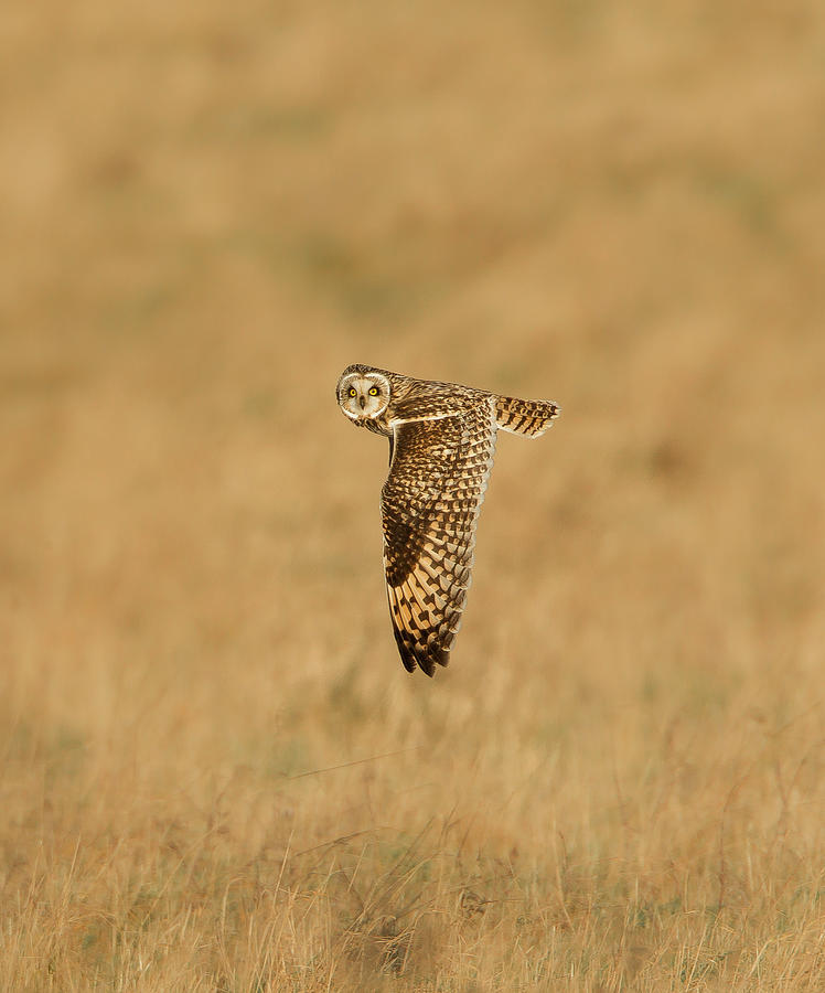 Short-eared Owl Asio Flammeus In Flight Photograph by Mark Smith