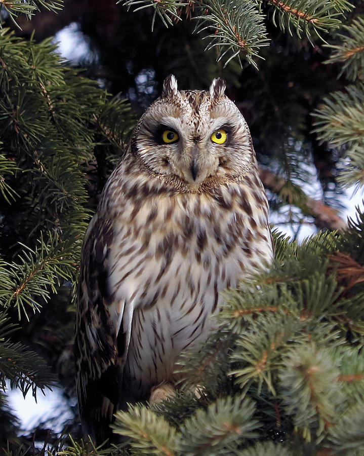 Short-eared Owl by Doris Potter