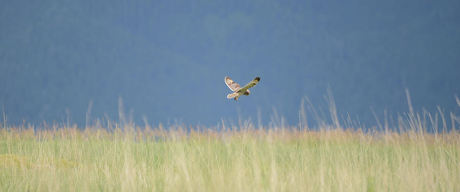 Short Eared Owl Hunting by Whispering Peaks Photography