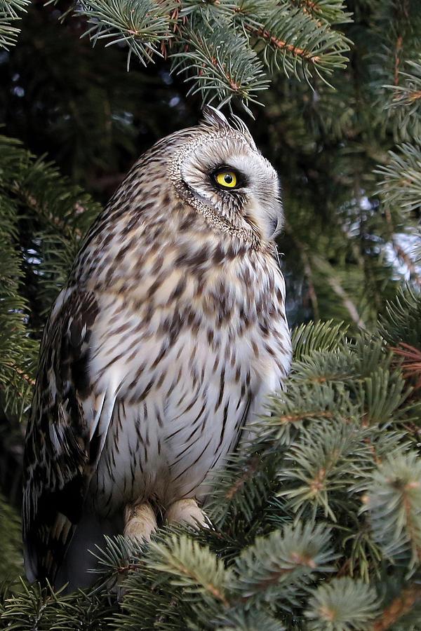 Short-eared Owl in Profile by Doris Potter