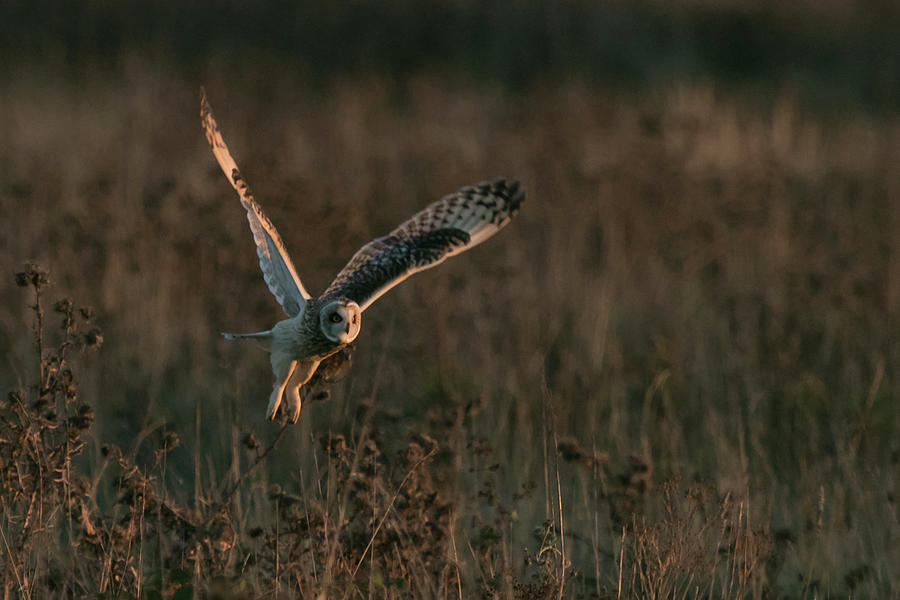 Short Eared Owl Liftoff by Wendy Cooper