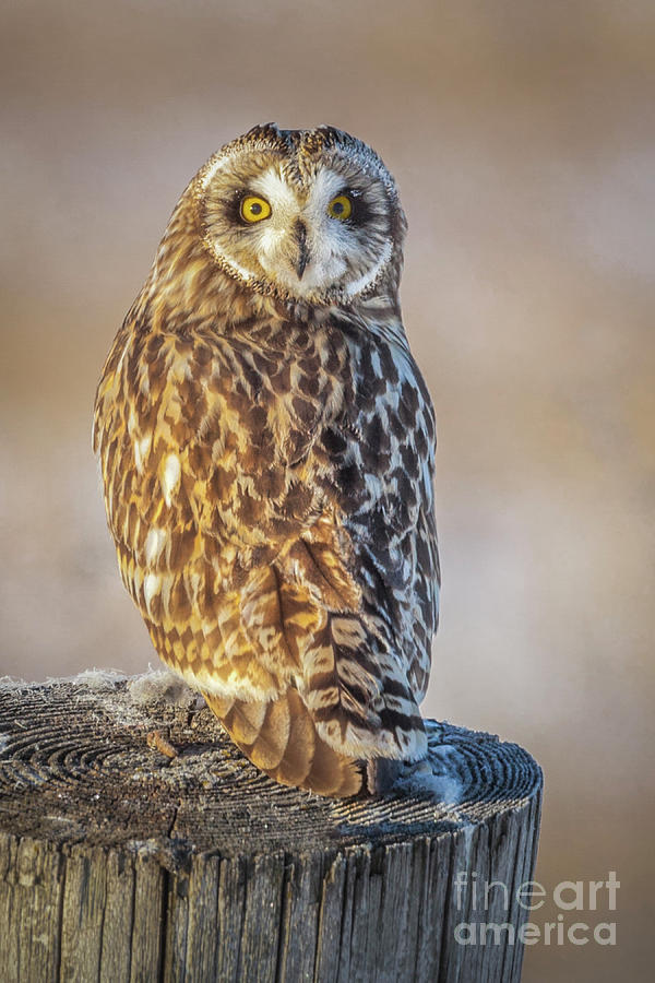 Short-eared Owl by Michael Greiner