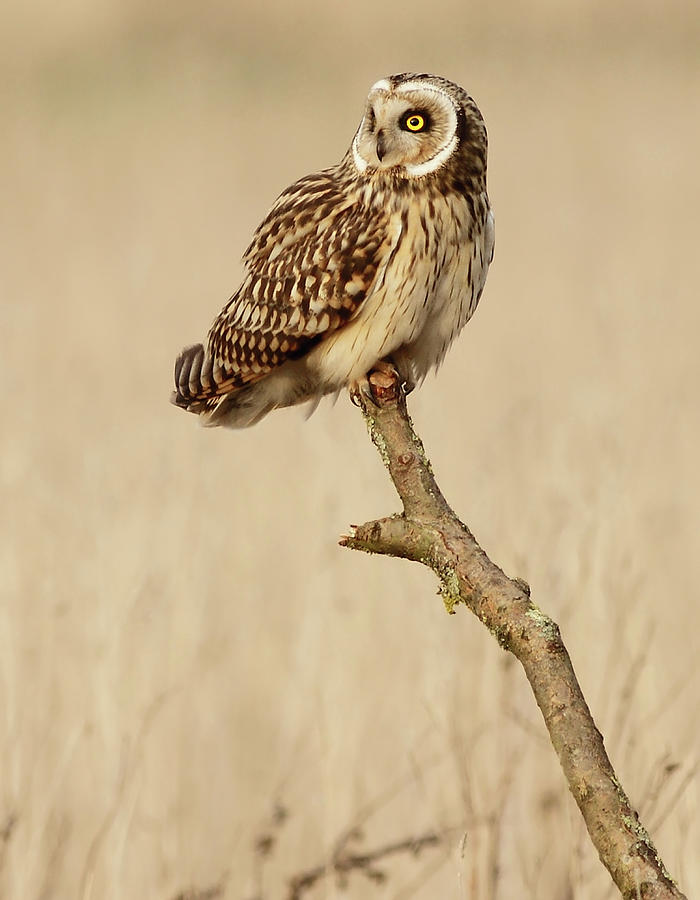 Short Eared Owl Perched On A Branch Photograph by Steve Ward Nature Photography