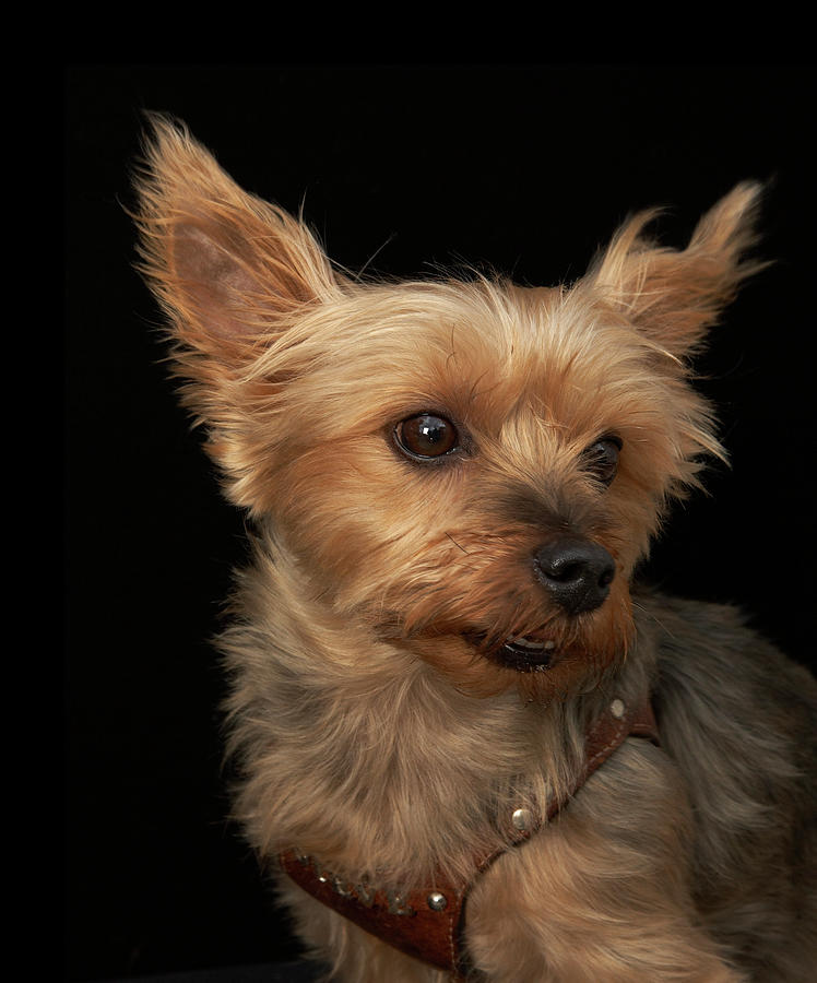 Short Haired Yorkie Dog Looking To The Photograph by M Photo
