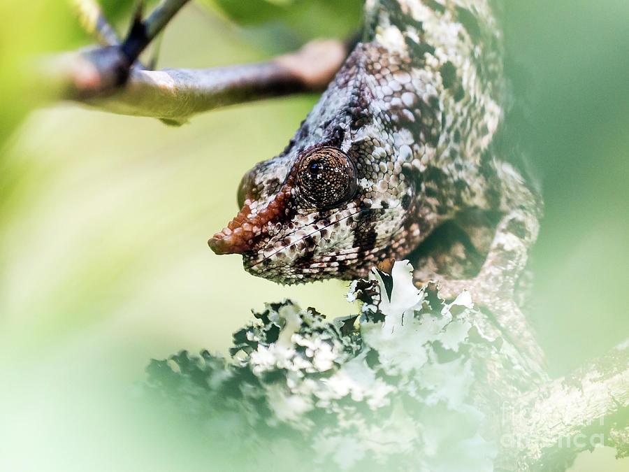 Short-horned Chameleon 1 Photograph