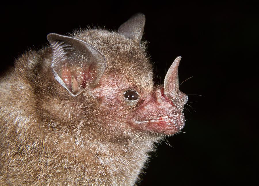 Animal Photograph - Short-tailed Fruit Bat Close-up by Ivan Kuzmin