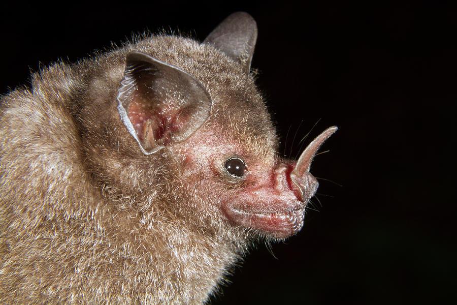 Animal Photograph - Short-tailed Fruit Bat by Ivan Kuzmin