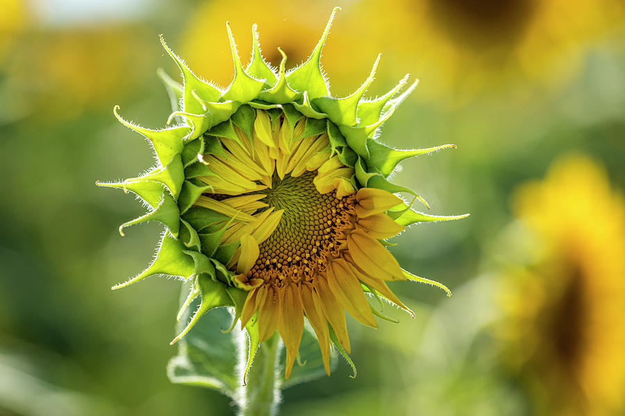 Showing My Sunflower Petals by Teri Virbickis
