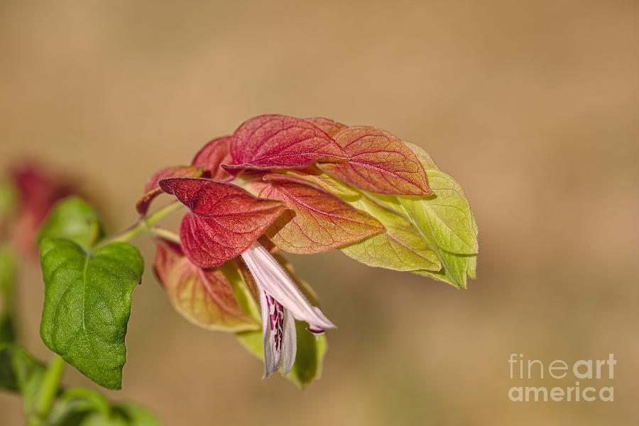 Shrimp Plant In Flower  by Joy Watson