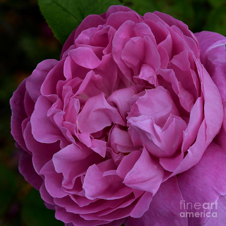 Shrub Rose - Cerise Pink by Yvonne Johnstone