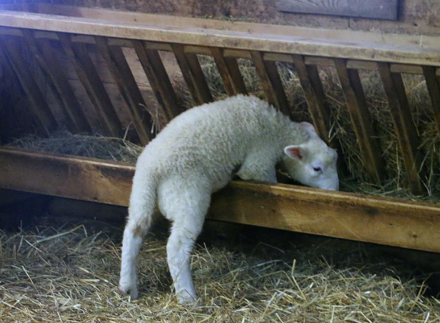 Shy Little Lamb by The Art Of Marilyn Ridoutt-Greene