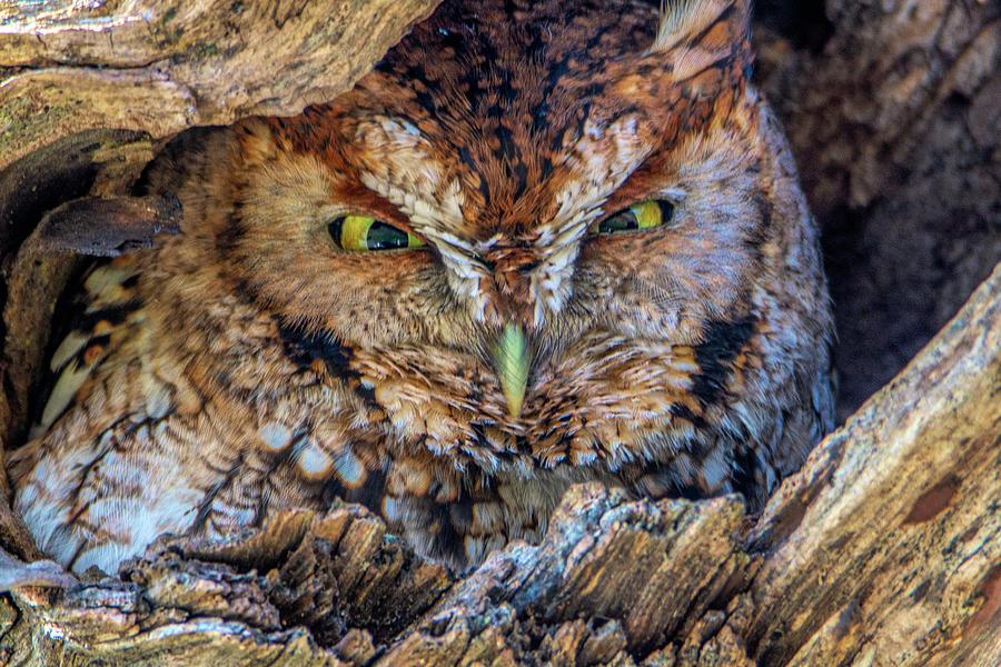 Shy Screech Owl by Douglas Wielfaert