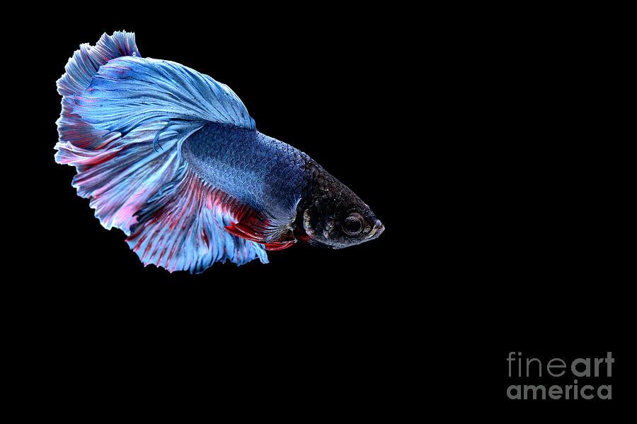 Studio Photograph - Siamese Fighting Fish by Bausriyosthiya