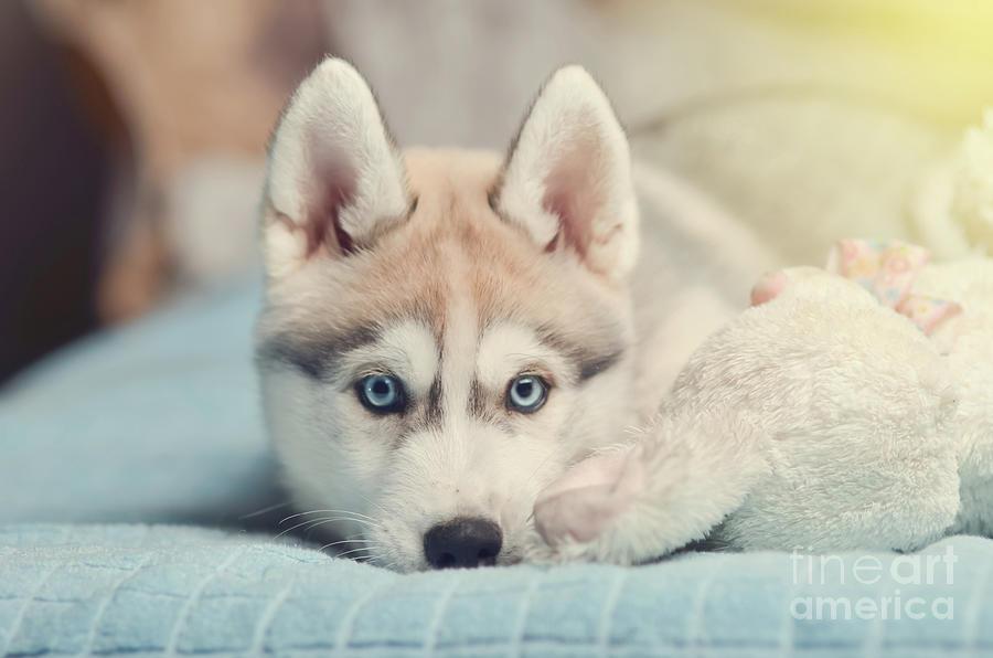 Siberian Husky Puppy With Blue Eyes Purebred Laying On The Bed W Photograph By Tatiana Serebryakova