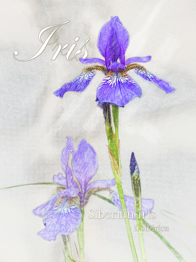 Siberian Iris Graphic by Mark Mille