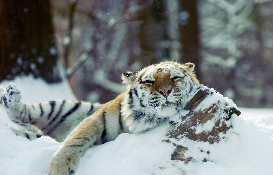 Siberian Tiger At The Bronx Zoo Is Photograph by New York Daily News Archive